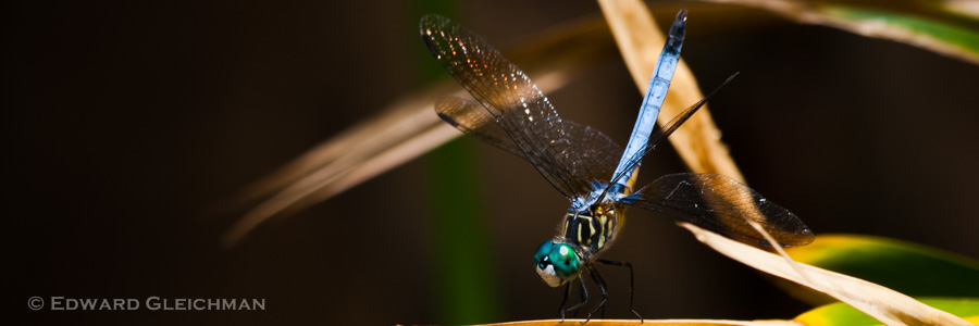 Dragonfly - Blue Dasher -IMG_0358 Copyright Edward Gleichman, All Rights Reserved