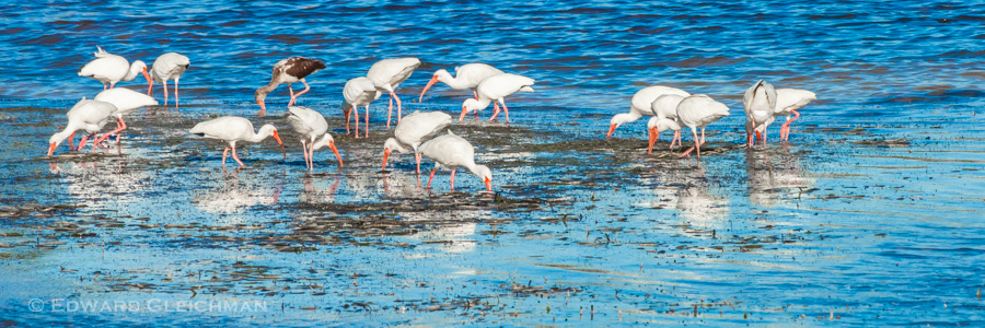 Ibis-IMG_1905-Copyright-Edward-Gleichman-All-Rights-Reserved
